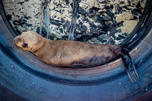 Seal Resting on a Tire