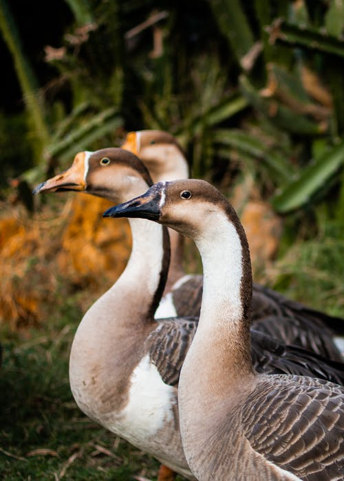 White and Black Ducks in Close Up Photography