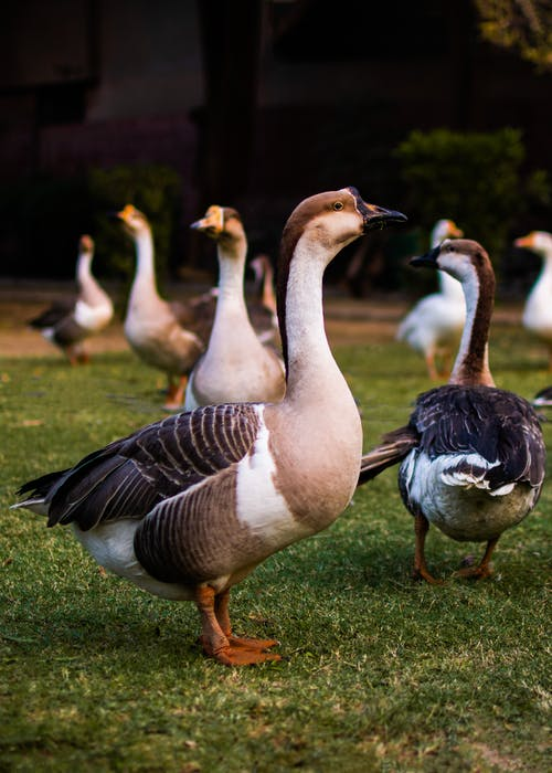 White and Black Ducks on Green Grass
