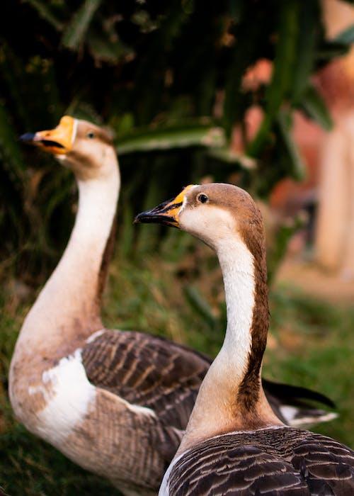 Белые и коричневые утки в фотографии крупным планом