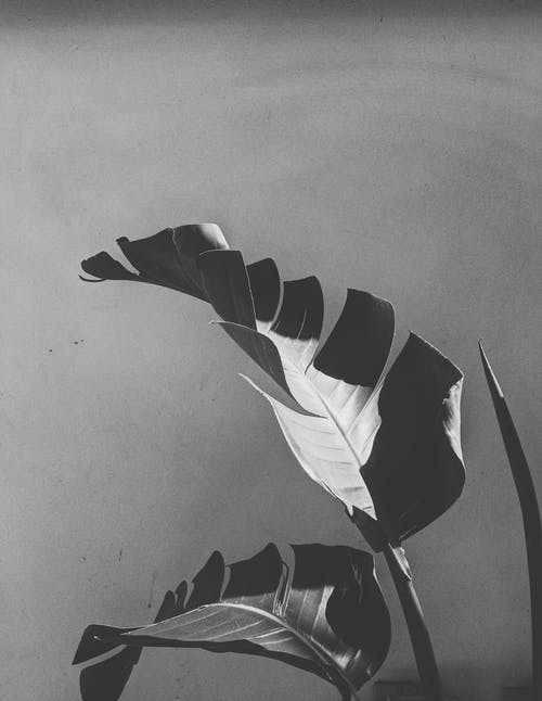 Gratis lagerfoto af bananblad, blad, blade, blomstermotiv