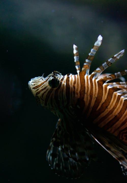 Close Up Photo of Lionfish