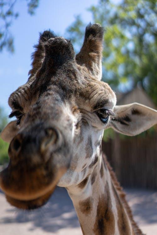 Portrait of a Brown Giraffe