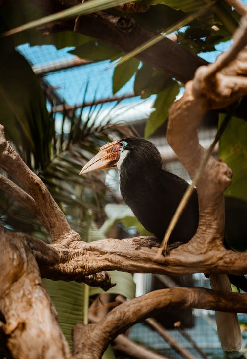 Papuan Hornbill bird on twig in tropical park