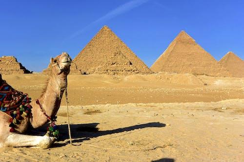 Camelo Marrom Na Areia Marrom