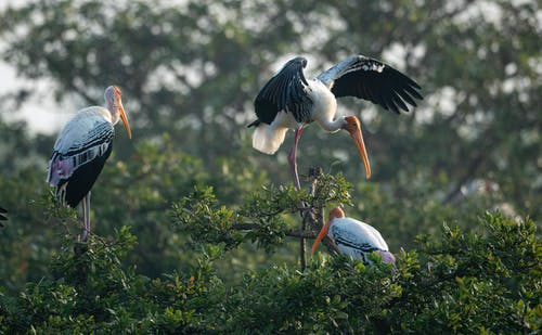 White Stork Perched Birds on Tree Branch