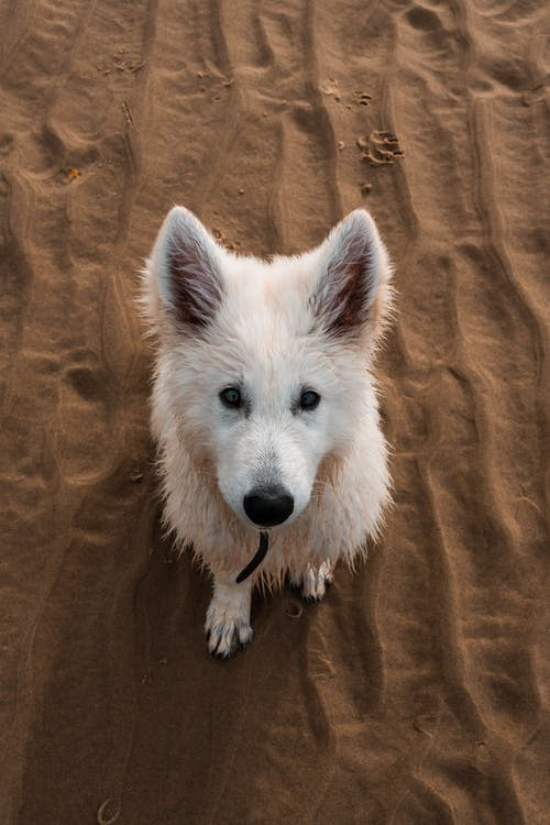 White Long Coated Dog