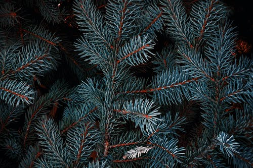 Beautiful Blue Spruce branches with needles growing in coniferous forest at night