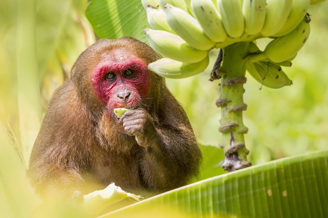 Scimmia Marrone Su Albero Di Banana