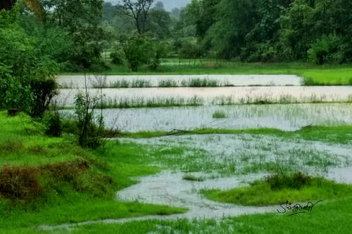 Immagine gratuita di campo di riso, india, konkan, monsone