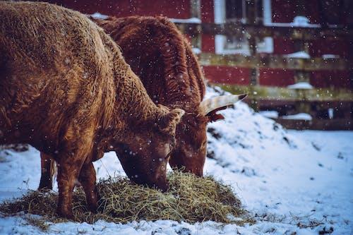büyükbaş hayvanlar, Çiftlik, çiftlik hayvanları, hayvan içeren Ücretsiz stok fotoğraf