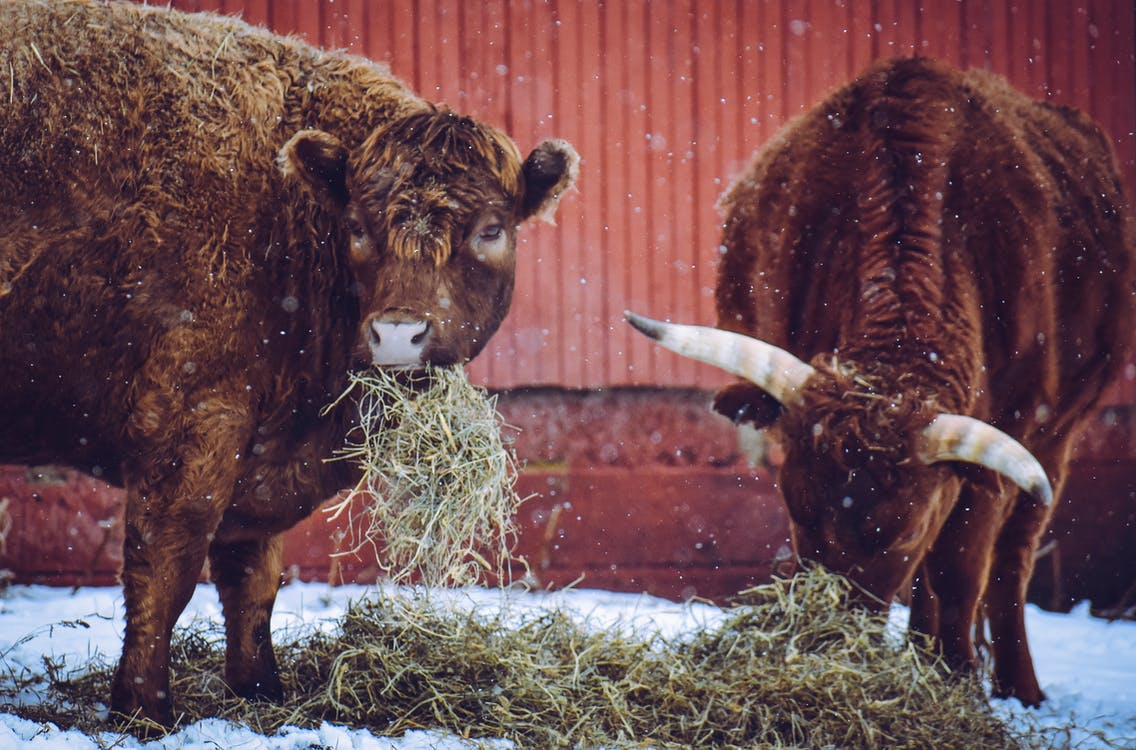 Bulls eating hay on winter day