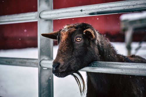 Коричневая коза за забором в снегопаде