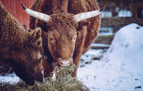 Brown Cows Feeding on Hay