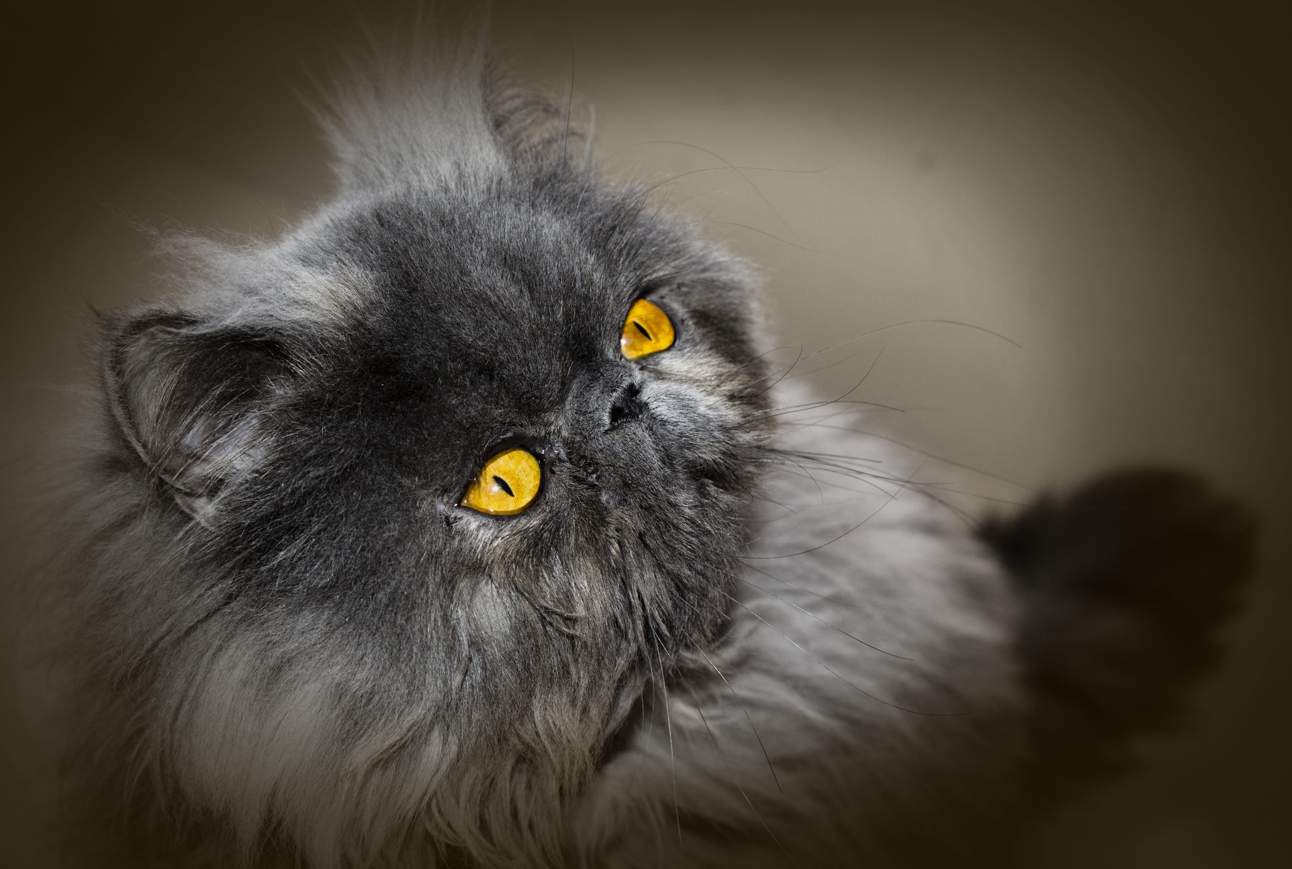 Free stock photo of animal, pet, home, cat
