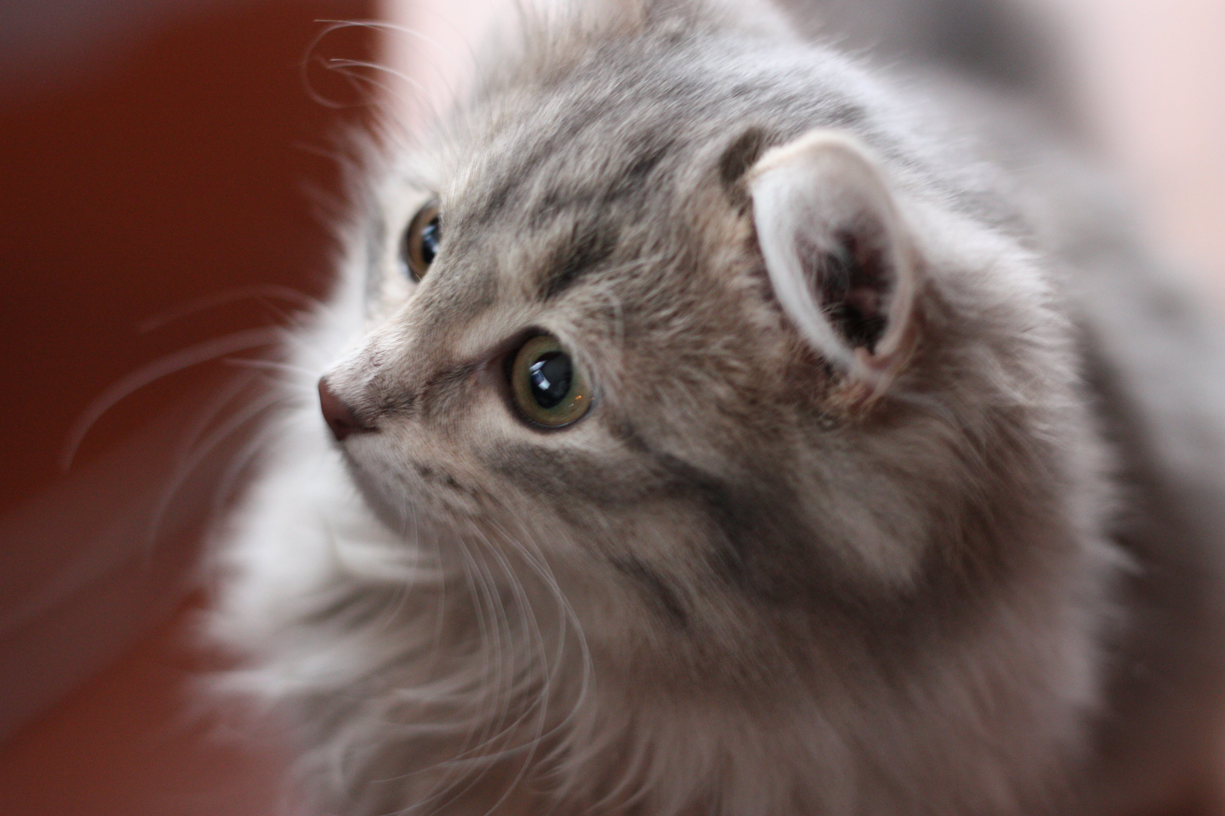 Free stock photo of cat, grey cat, snout