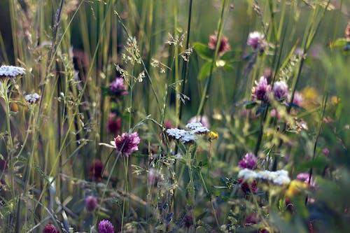 Immagine gratuita di campo, erba, fiori, natura