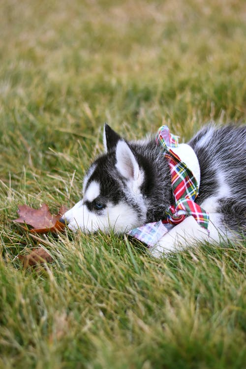 Husky Puppy Lying Down on Grass