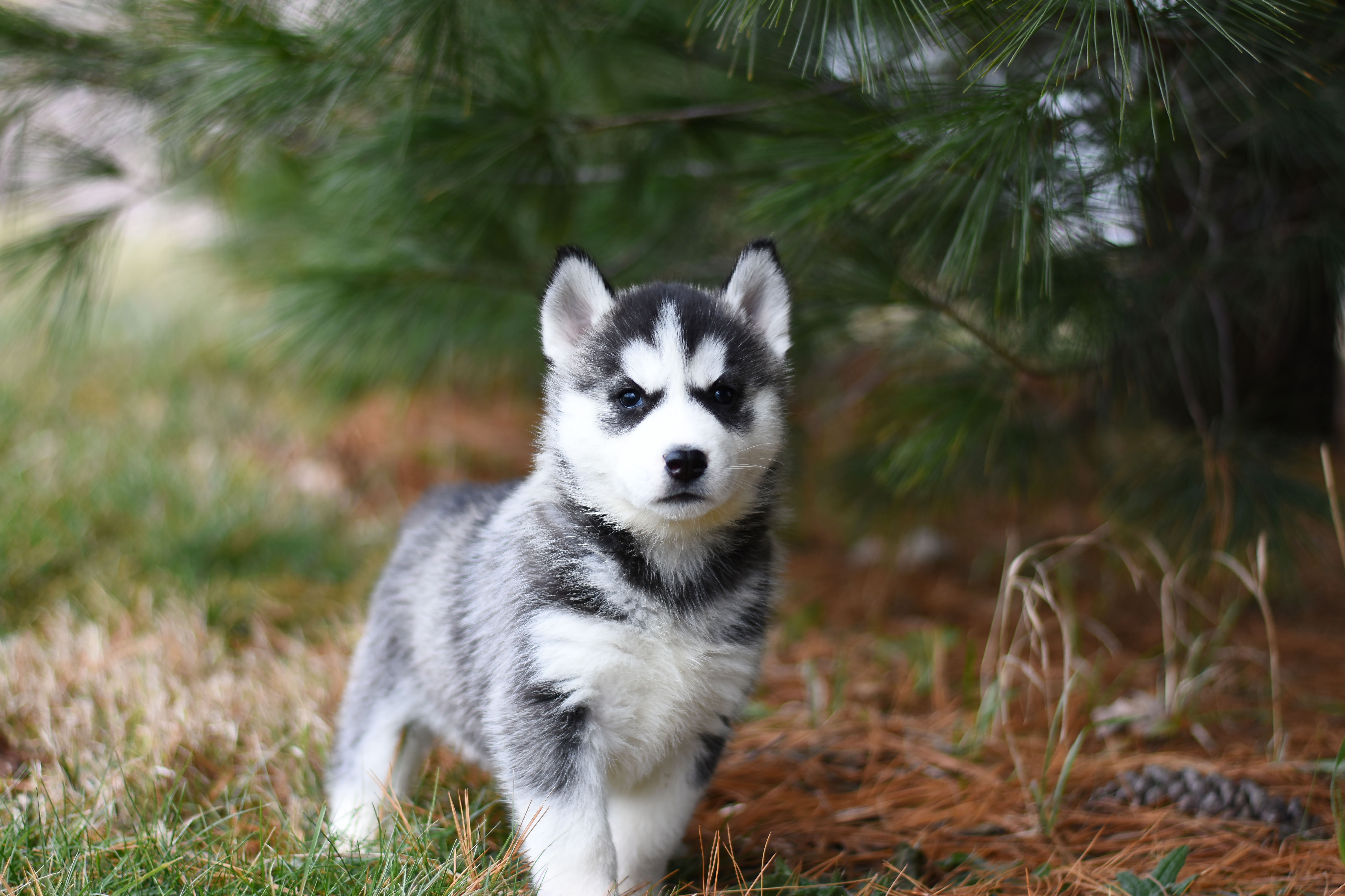 Black And White Siberian Husky Puppy On Brown Grass Field Free Stock Photo