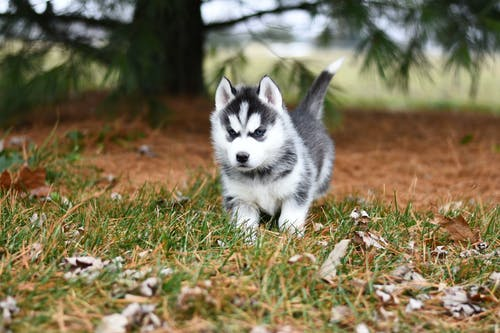 White and Black Siberian Husky Puppy on Brown Grass Field