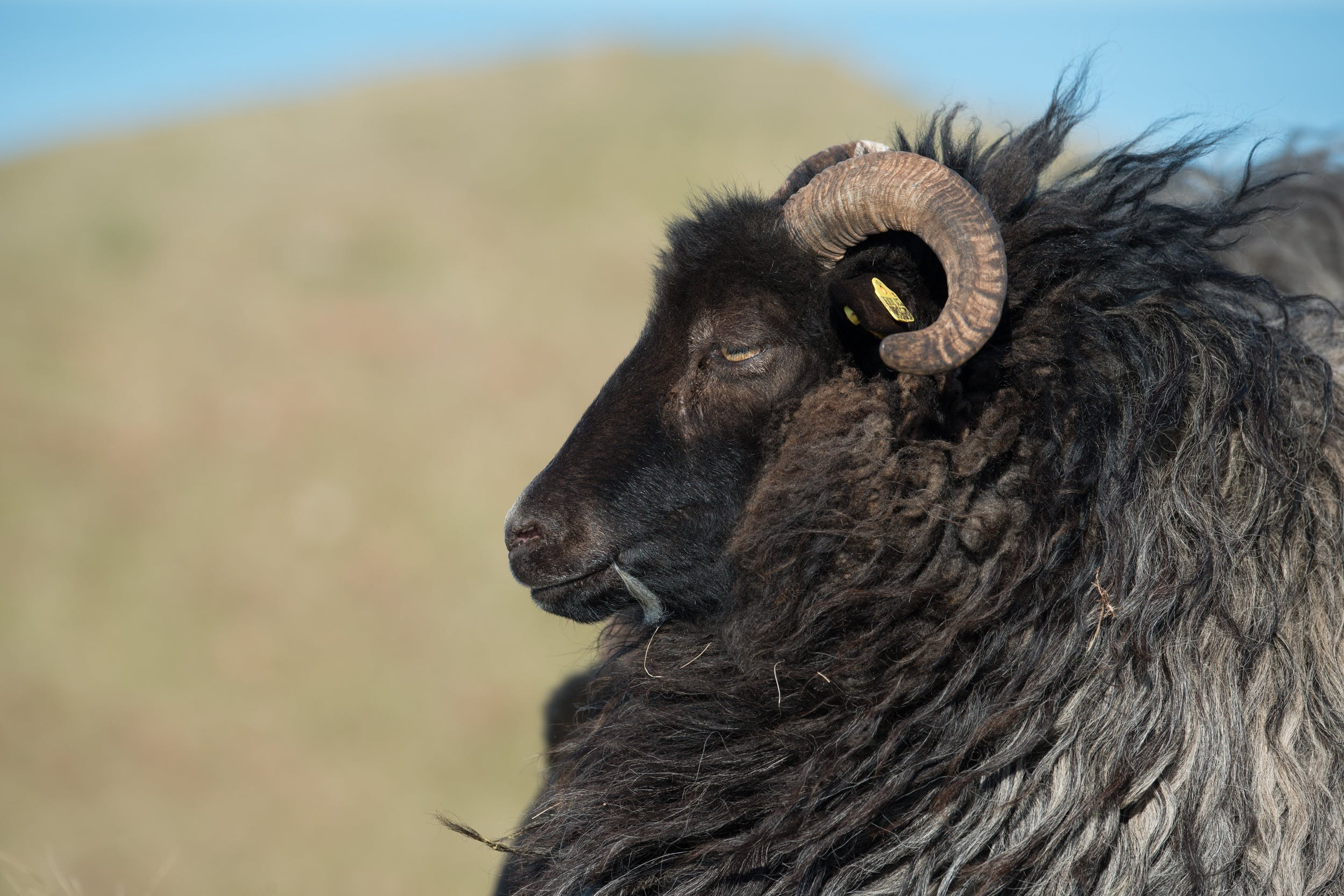 Selective Focus Photography of Black Ram