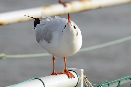 Free stock photo of birds, gulls, black headed gull, larus ridibundus
