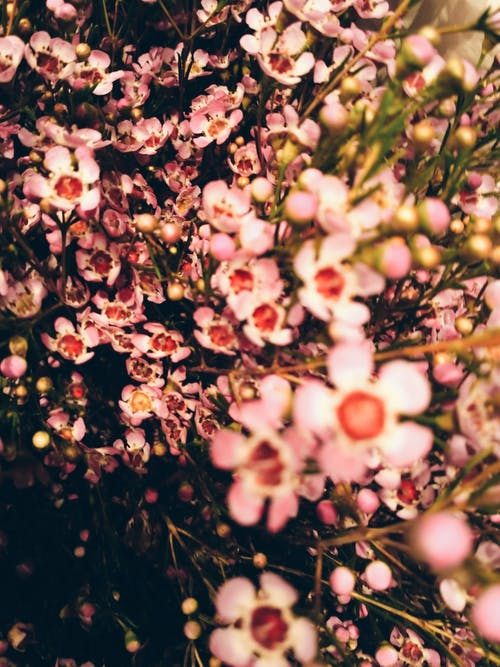 Kostnadsfri bild av blommor, blomning, närbild, rosa