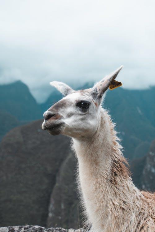 Fotos de stock gratuitas de al aire libre, alpaca, América del sur, animal