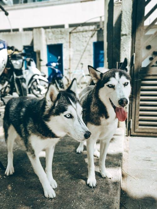 Adult huskies with grey eyes