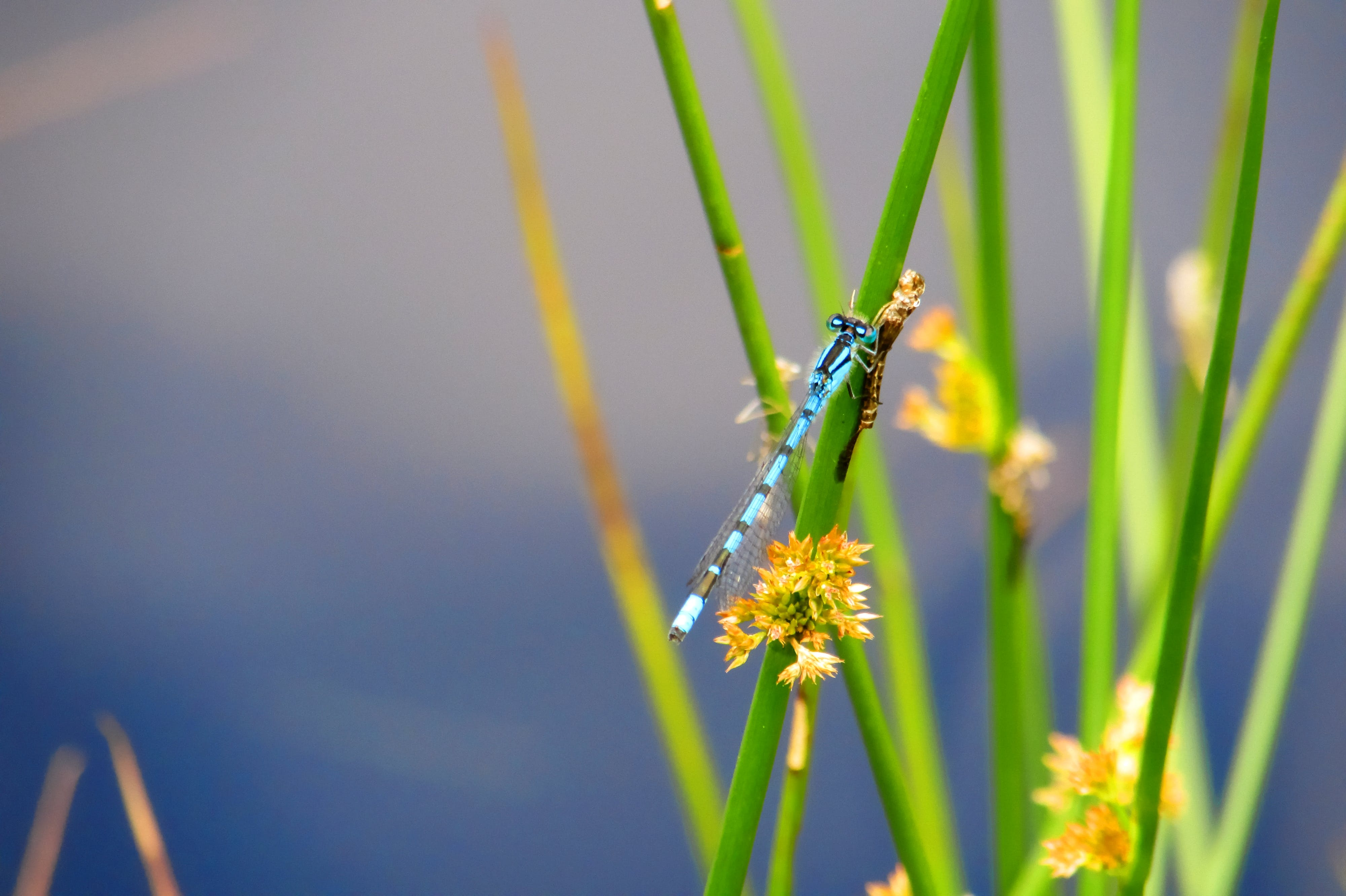 Selective Focus Photography of Damsel Fly on Green Leaf