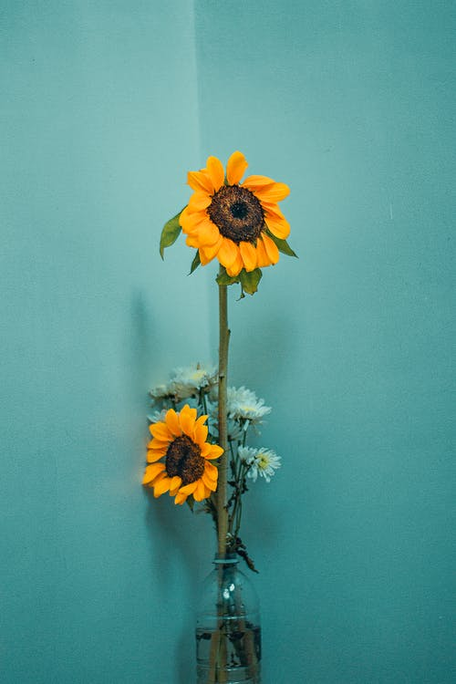 Bouquet of fresh sunflowers and asters placed in glass vase on table near blue wall
