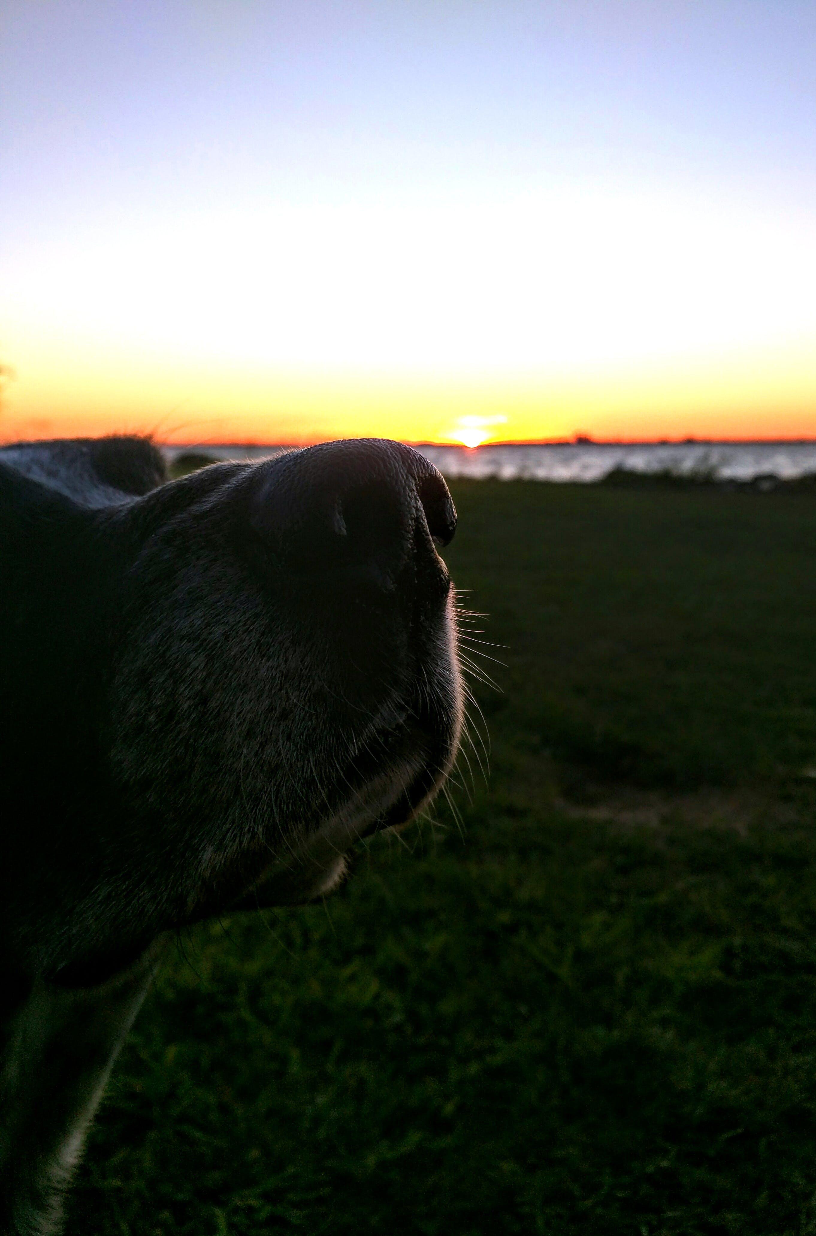 Free stock photo of dog, enjoy, nose, ocean