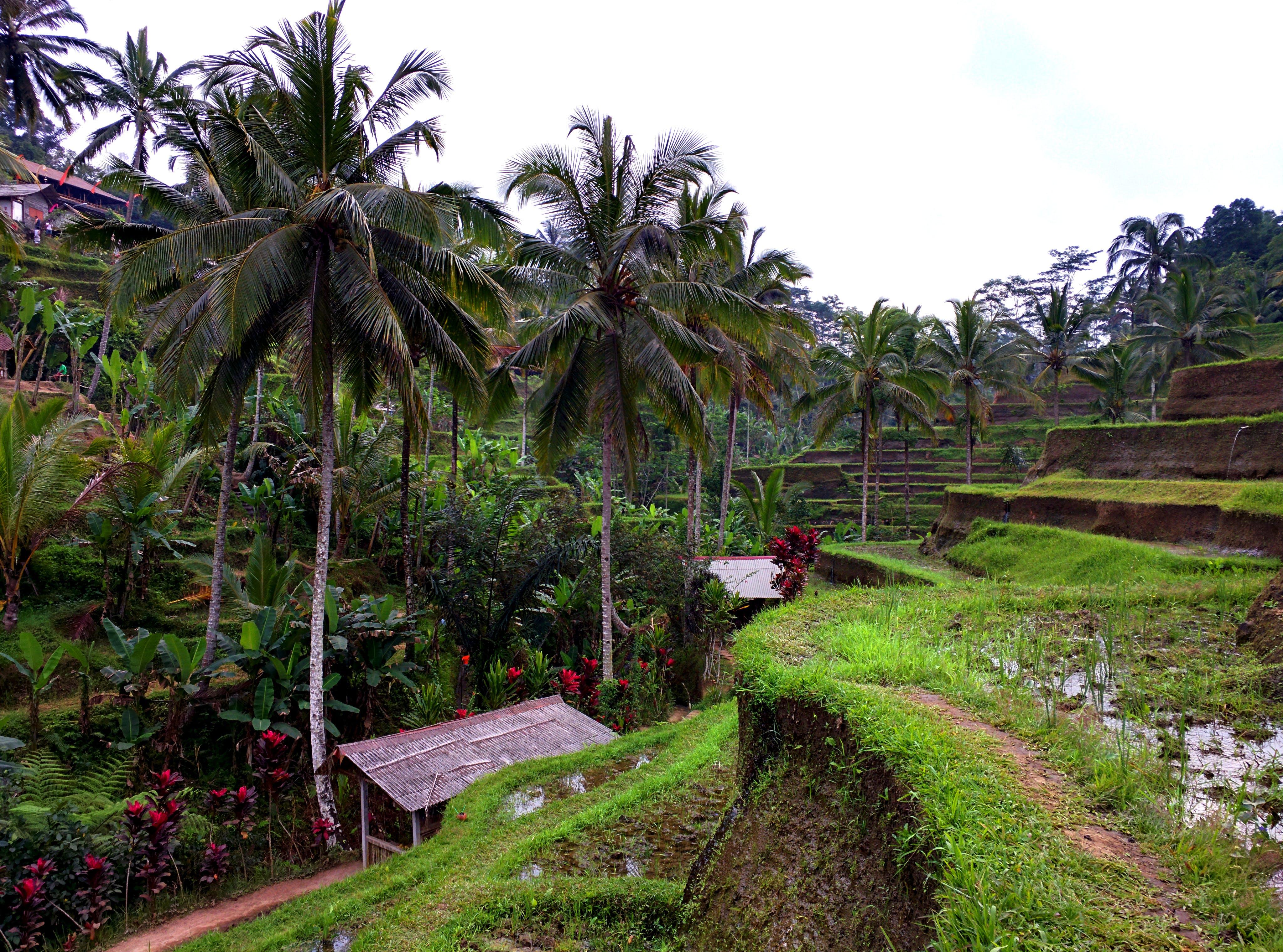 Free stock photo of bali, green, rice field