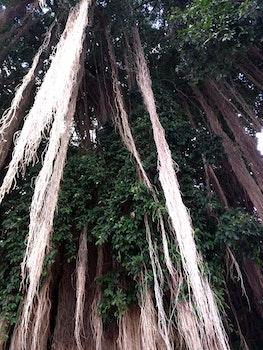 Free stock photo of tree, hanging, bali