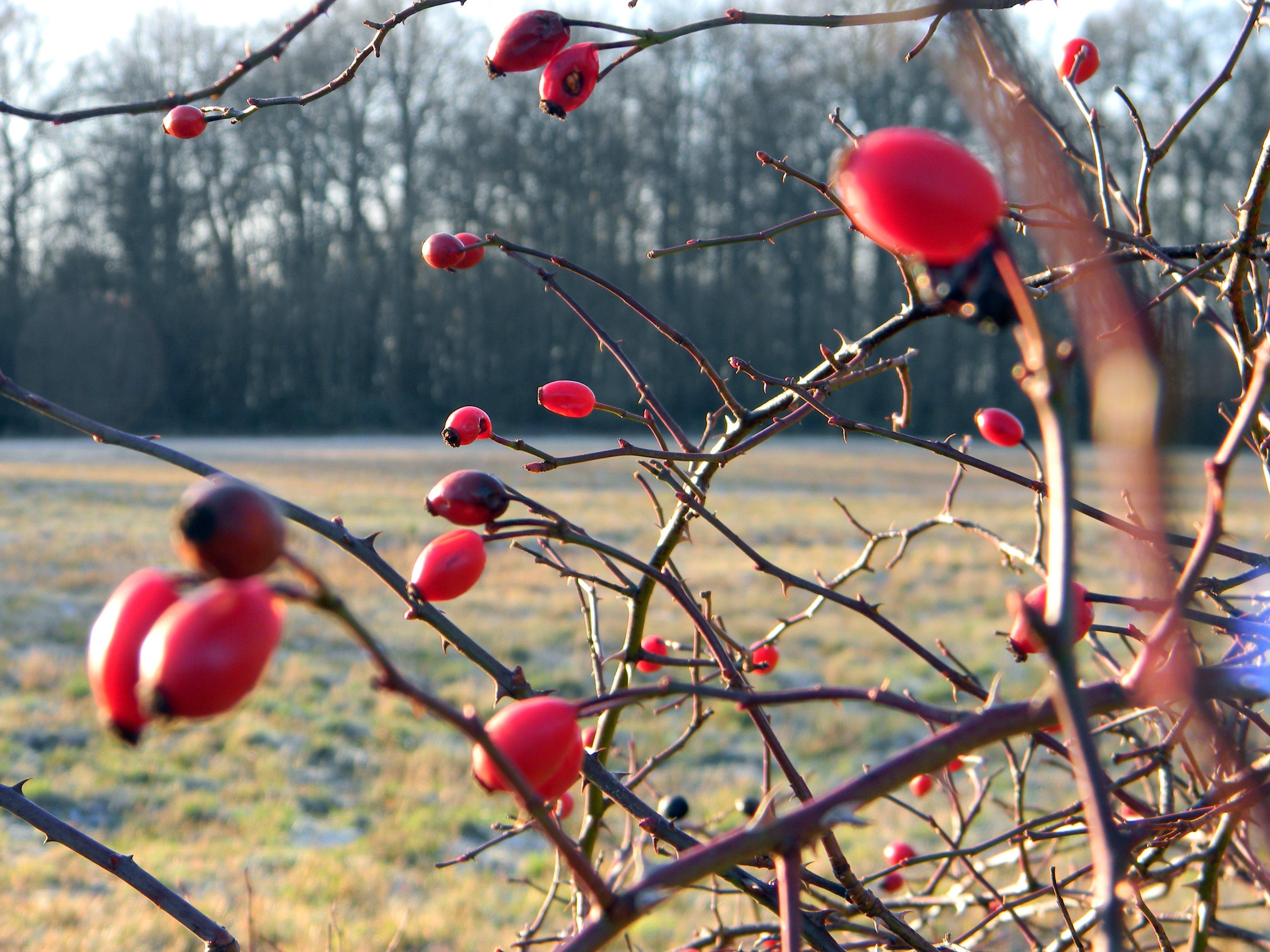 Free stock photo of bush, field, red, rose nip