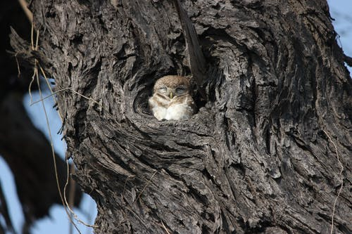Spotted Owlet on Brown Tree