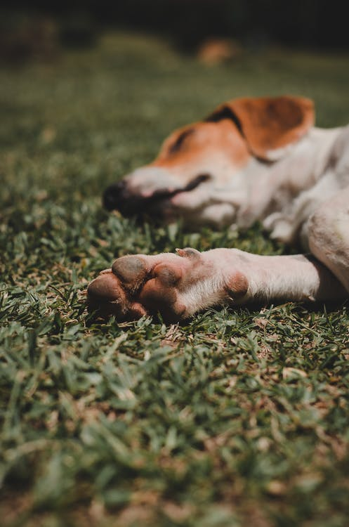White and Brown Short Coated Dog Lying on Green Grass