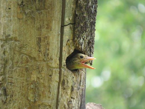 Foto d'estoc gratuïta de arbre, au, bec