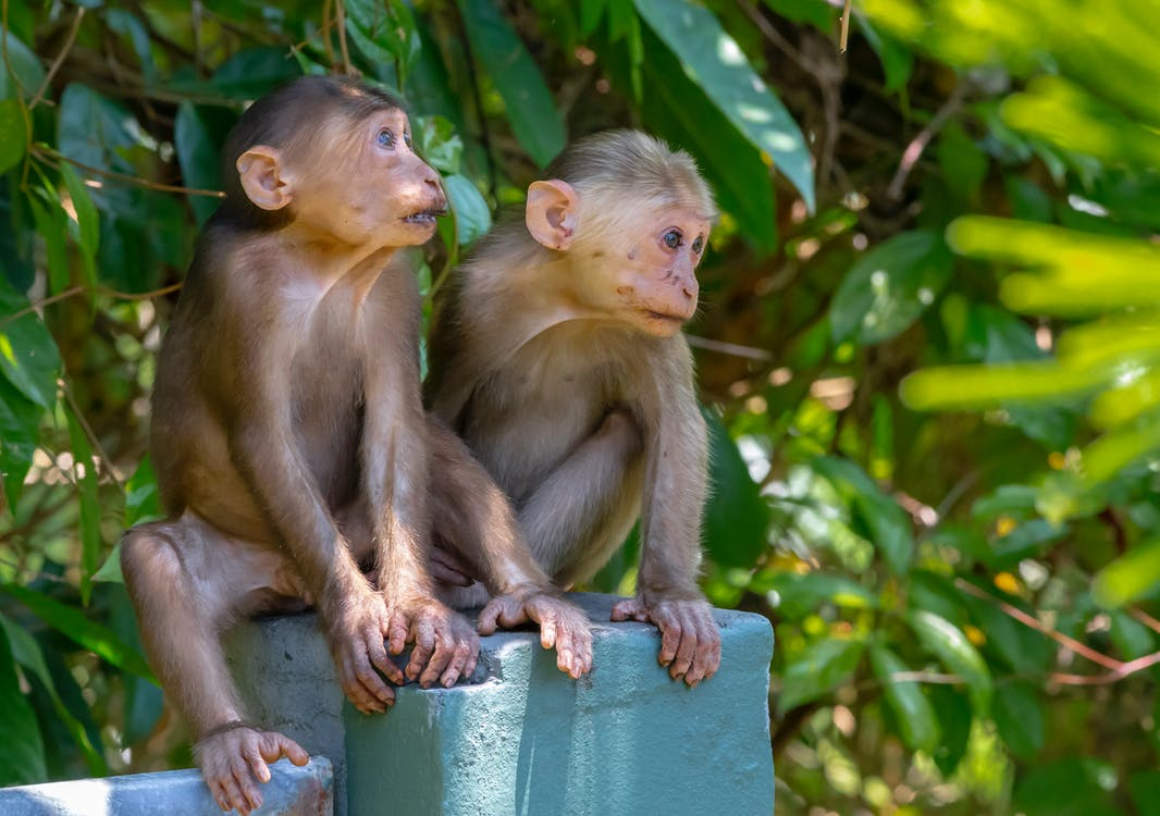 Brown Monkeys Sitting on Concrete