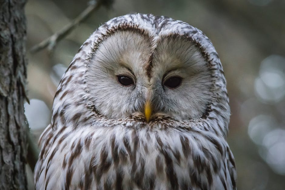 Photo of ural owl
