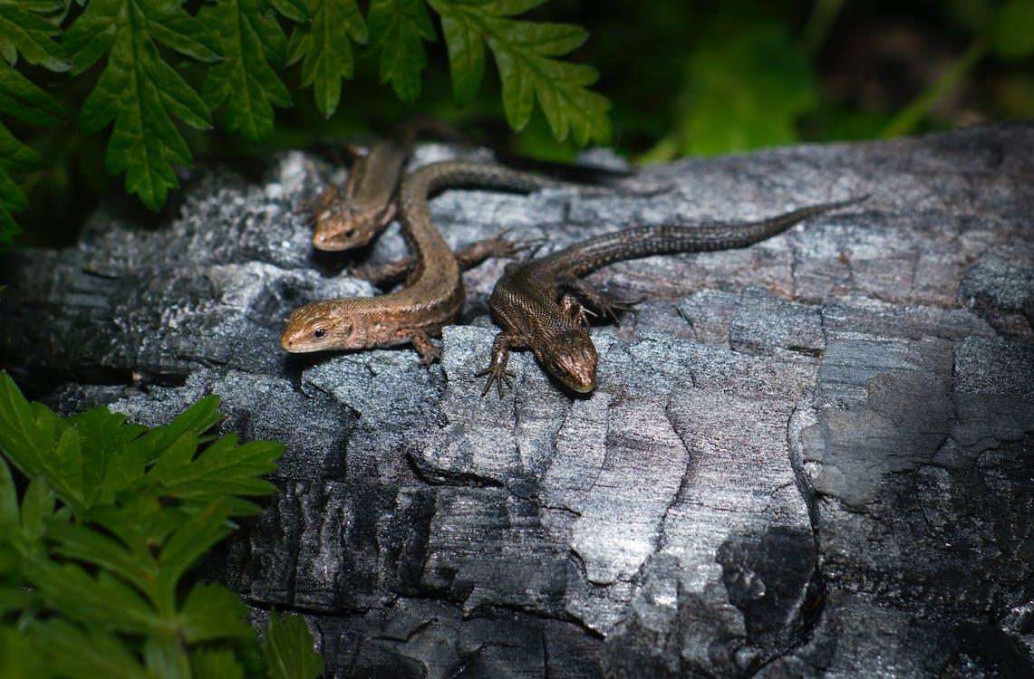 Three Lizards on Brown Wood