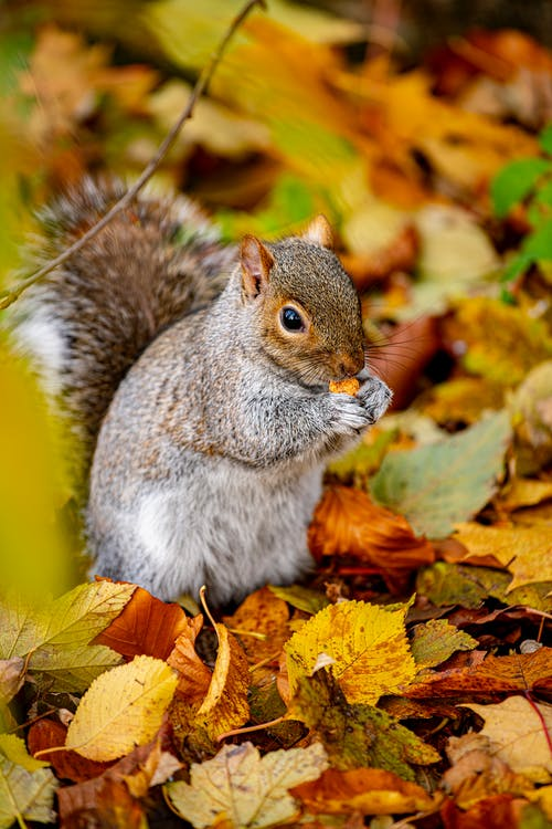 Gray and White Squirrel on Brown Leaves