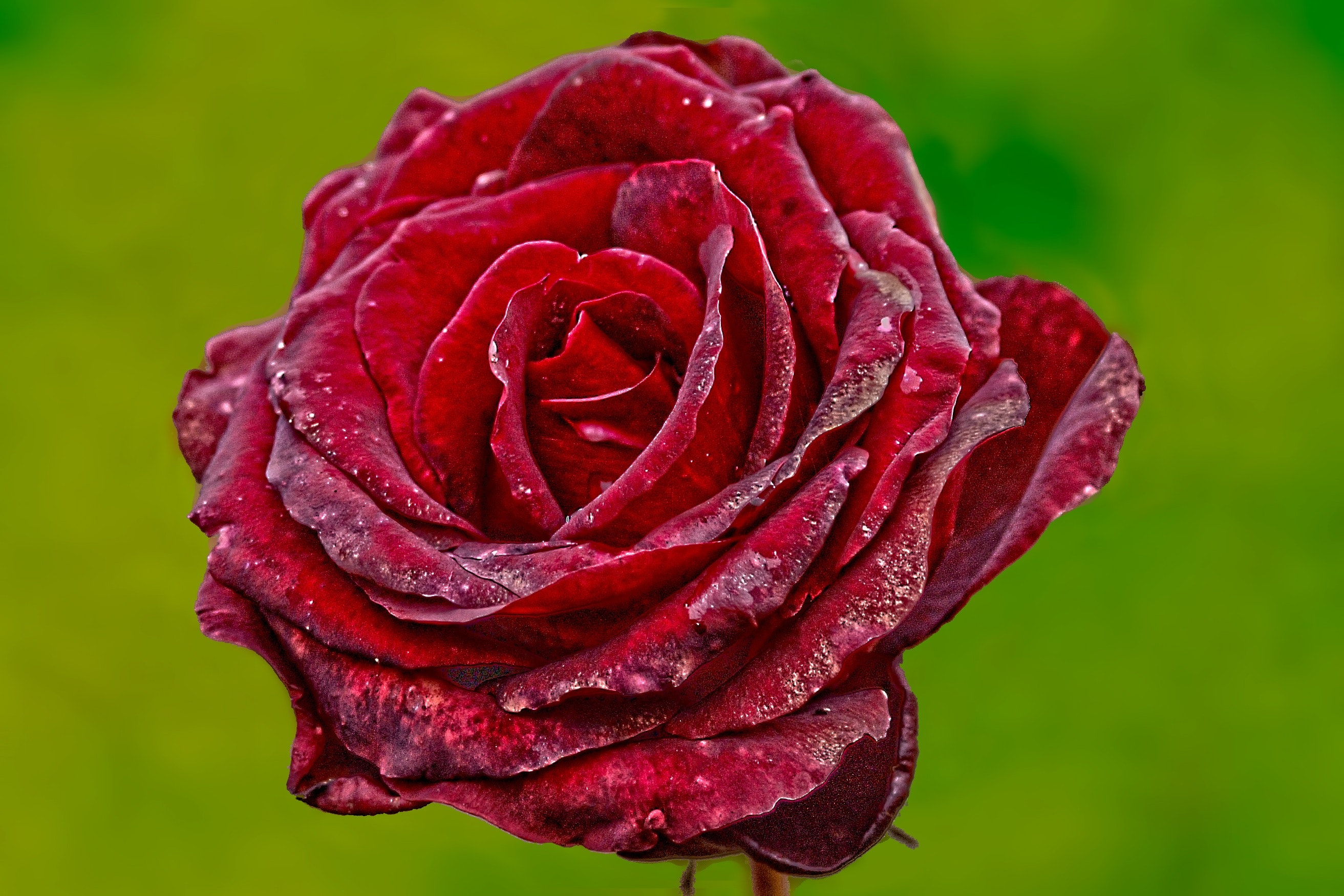 Rose Flower Images Hd Wallpaper Free Download