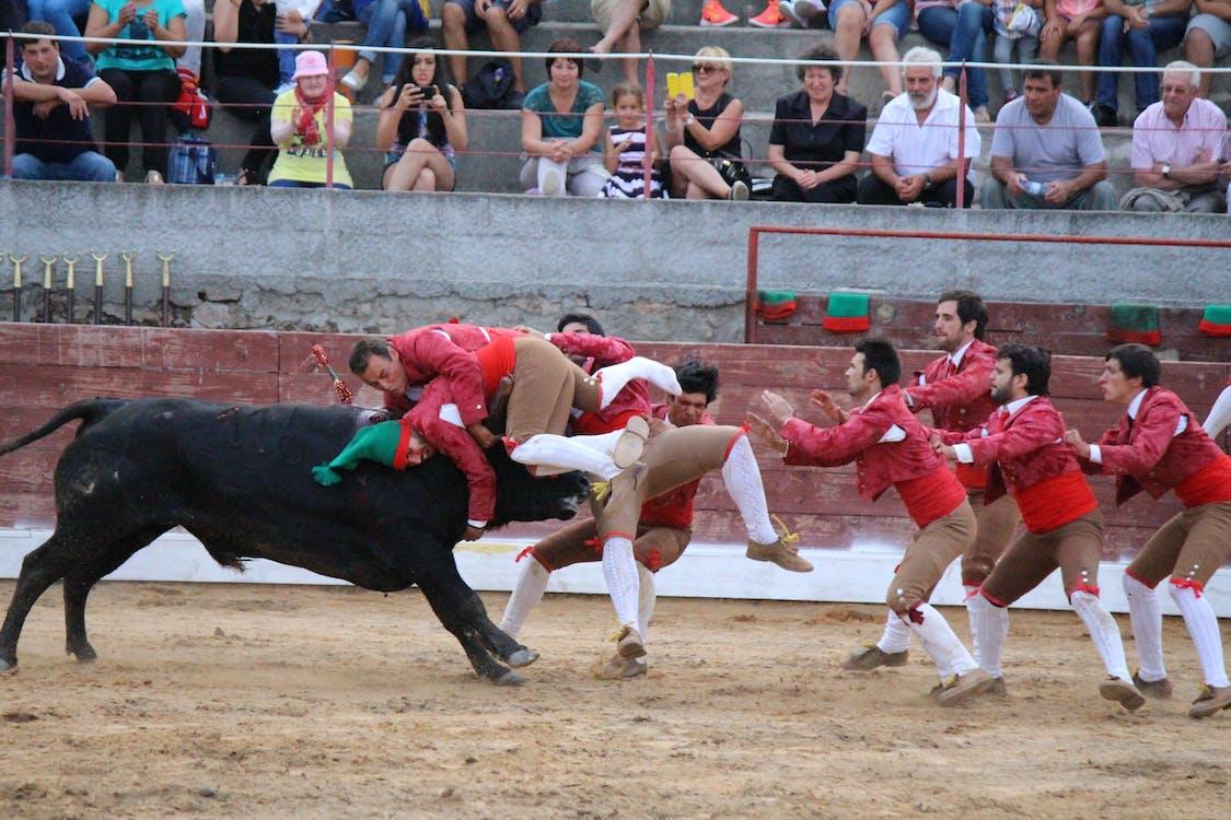 Free stock photo of bull, Bull figth, tourada