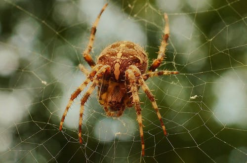 Closeup Photo of Brown Barn Spider