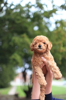 Free stock photo of dog, puppy, poodle