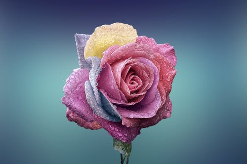 Pink Rose in Selective-focus Photography