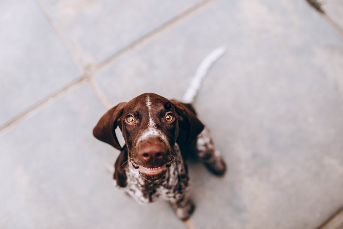 From above of adorable puppy of German Pointer sitting on sidewalk and looking at camera