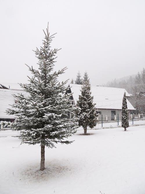Free stock photo of art photo, classic photo, fir tree, fir trees