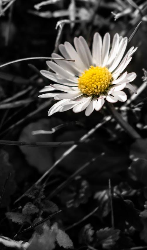 Kostnadsfri bild av bakgrund, blomhuvud, blomma, blommig